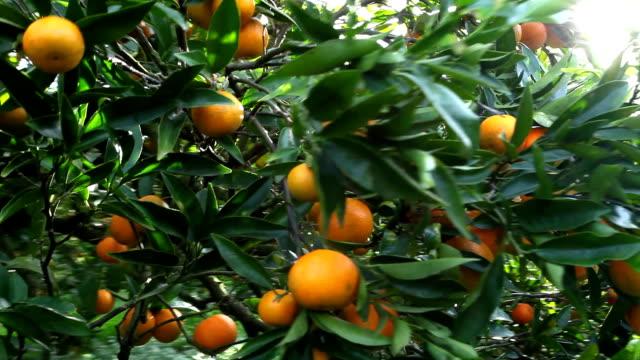 Italy, Calabria, citrus harvesting