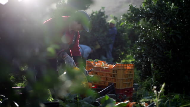 italy, calabria region, oranges harvesting - オレンジ果樹園点の映像素材/bロール