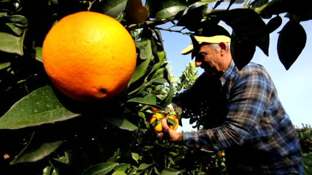 italy, calabria region, oranges harvesting - solo un uomo anziano video stock e b–roll