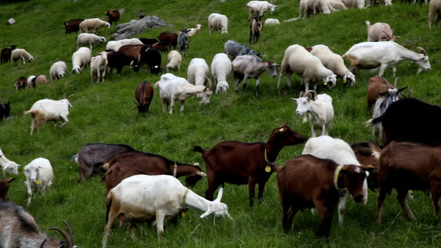 Italy, Cavalese, herd of goats grazing in the mountain