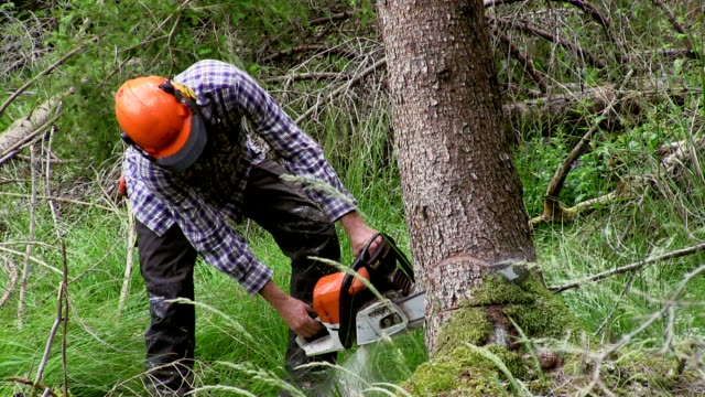 Italy, Cavalese, lumberjack chopping a spruce