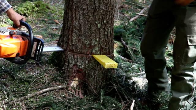vídeos y material grabado en eventos de stock de italy, cavalese, lumberjack chopping a spruce - leñador