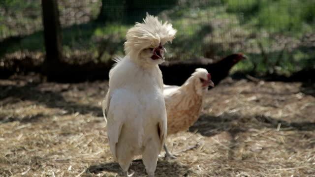 vídeos y material grabado en eventos de stock de italy, crowing cock - grupo pequeño de animales
