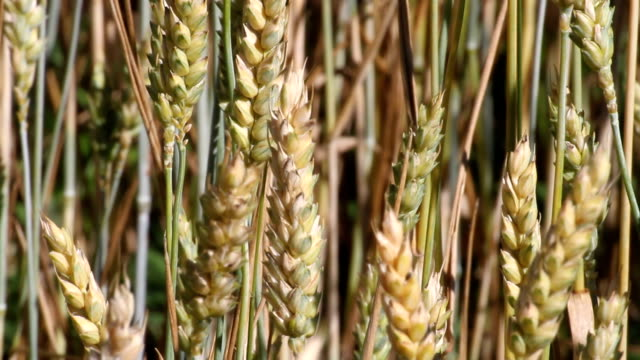 italy, fiemme valley, ears of corn - カバレーゼ点の映像素材/bロール