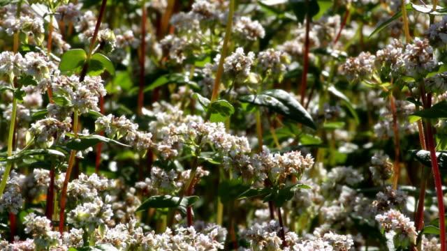italy, fiemme valley, farming buckwheat (fagopyrum esculentum) - カバレーゼ点の映像素材/bロール