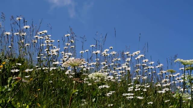 italy, fiemme valley, field of daisies - カバレーゼ点の映像素材/bロール
