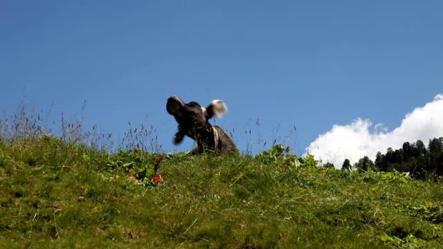 italy, fiemme valley, grazing cow - カバレーゼ点の映像素材/bロール