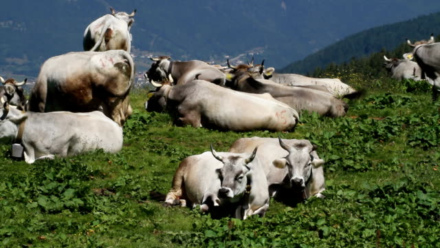 italy, fiemme valley, grazing cows (burlina) - vacca stock videos and b-roll footage