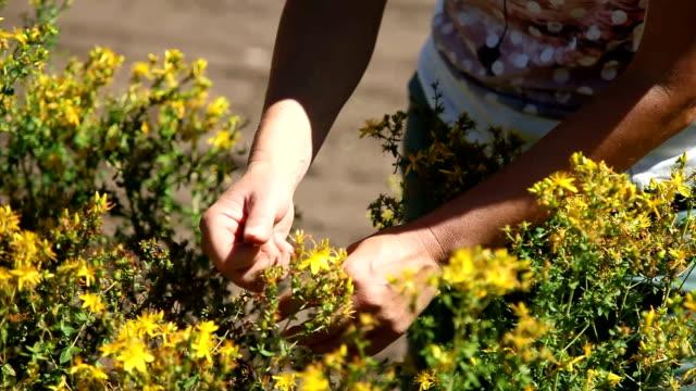 italy, fiemme valley, hipericum (hypericum perforatum) - カバレーゼ点の映像素材/bロール