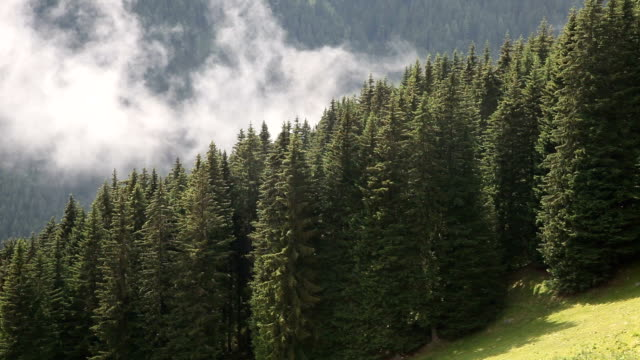italy, fiemme valley, view of a spruce forest - evergreen stock videos & royalty-free footage