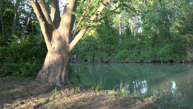 italy large tree  on the bank of stella backwater pan right.mov - backwater stock videos & royalty-free footage