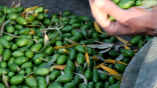 vidéos et rushes de italy, olive harvest - récolter