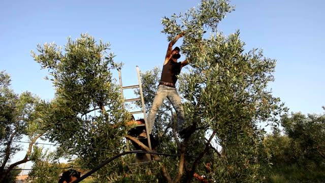 italy, olive harvest - picking harvesting stock videos and b-roll footage