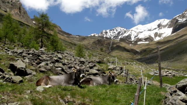 italy, schnalstal, senales valley, cows - vacca stock videos and b-roll footage