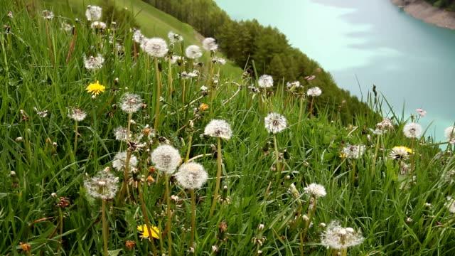 italy, schnalstal, senales valley, meadow of dandelion - prato rasato stock videos & royalty-free footage