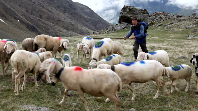 italy, schnalstal (senales valley) transhumance - sheep stock videos & royalty-free footage