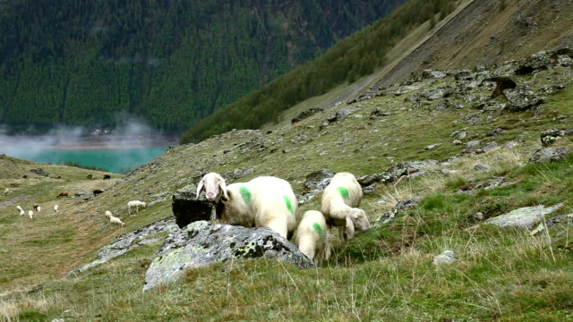 Italy, Schnalstal (Senales valley) transhumance
