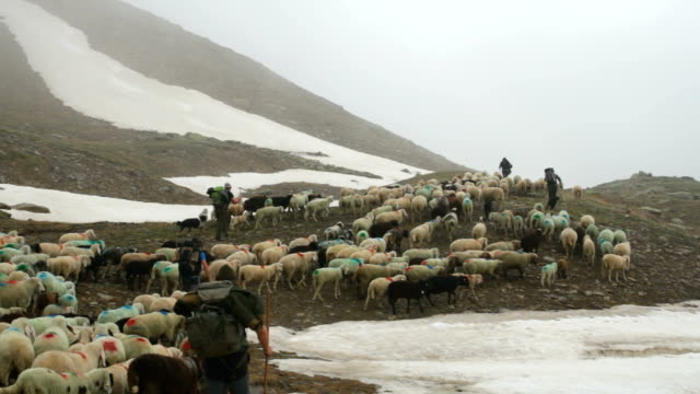 italy, schnalstal (senales valley) transhumance - herder stock videos & royalty-free footage
