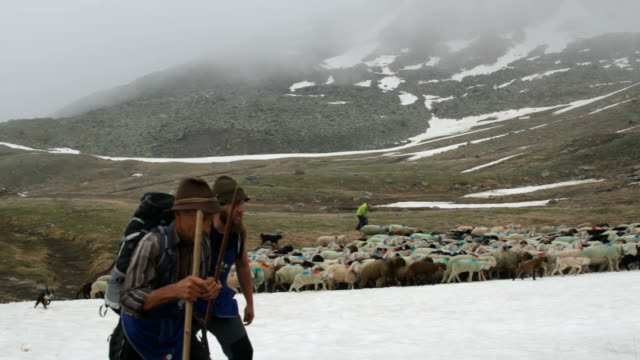 italy, schnalstal (senales valley) transhumance - shepherd stock videos & royalty-free footage