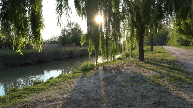 italy sun shines brightly through willow leaves zoom in - trauerweide stock-videos und b-roll-filmmaterial