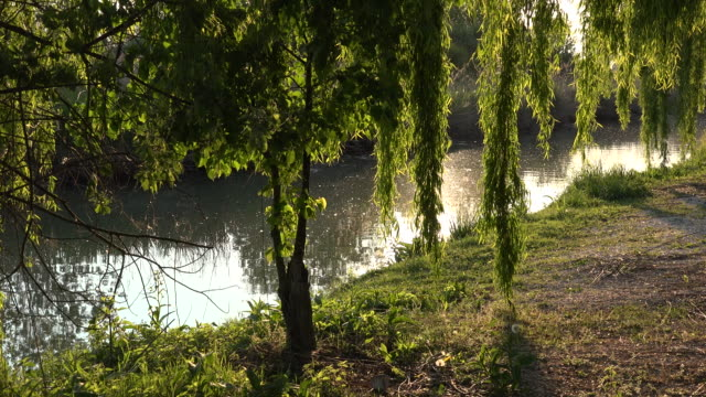 italy sun shines on willows by stream zooms in - trauerweide stock-videos und b-roll-filmmaterial