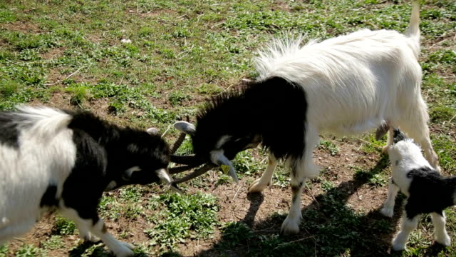italy, two goats facing each other with horns - other stock videos & royalty-free footage