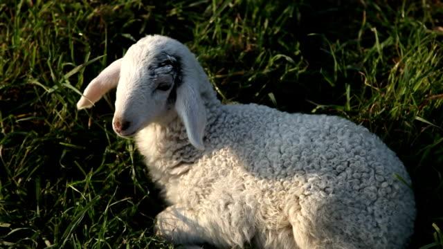 vídeos de stock e filmes b-roll de italy, venice lagoon, the shepherd - mamífero ungulado