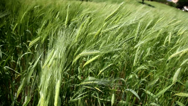 italy, wheat fields - cereal plant stock videos & royalty-free footage