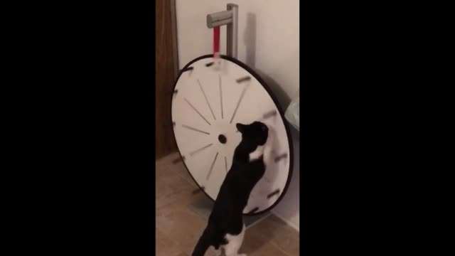 it's a lifelong dream for this cat to spin the big wheel next to drew on the price is right! how funny is that? - gioco televisivo video stock e b–roll