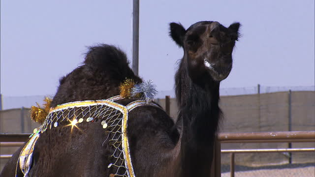 it's one of the most prestigious and profitable beauty pageants in the gulf but it's not for humans sky's zein ja'far reports from the united arab... - hooved animal stock videos & royalty-free footage