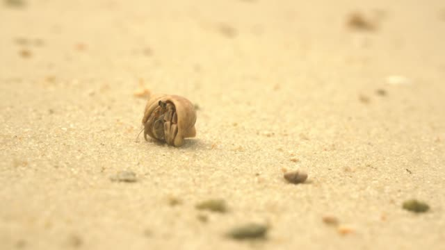 it's safe, hermit crabs start walking again after hiding - conch stock videos & royalty-free footage