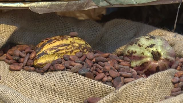 ivory coast the world's top cocoa grower sets its minimum rate for farmers at 700 cfa francs per kilo for the 201718 crop a steep drop over the... - côte d'ivoire stock videos & royalty-free footage