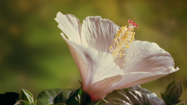 vídeos de stock e filmes b-roll de t/l, cu, ivory colored hibiscus flower opening and wilting - cabeça de flor