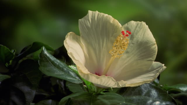 t/l, cu, ivory colored hibiscus flower opening and wilting - death stock videos & royalty-free footage