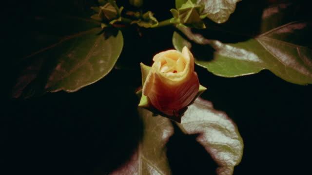 vidéos et rushes de t/l, cu, ivory colored hibiscus flower opening, overhead view - bouton de fleur