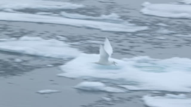 Ivory Gull flying over arctic sea ice
