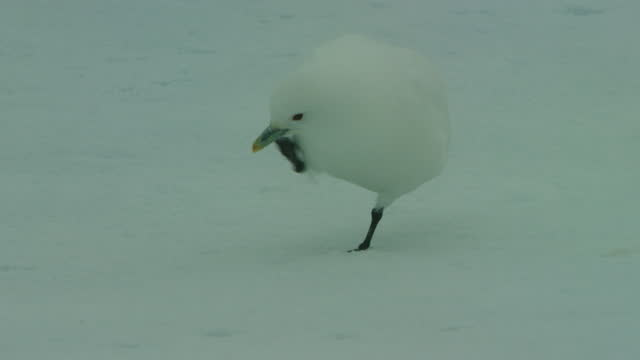 stockvideo's en b-roll-footage met ms ivory gull pecking at snow and scratching its beak then huddling down - pikken