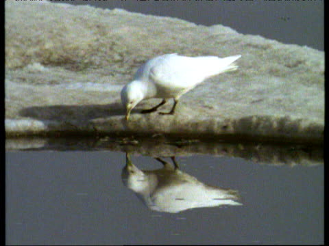 vídeos de stock, filmes e b-roll de ivory gull walks along icy surface edge and looks at reflection in water then waddles off, canadian arctic - parte do corpo animal