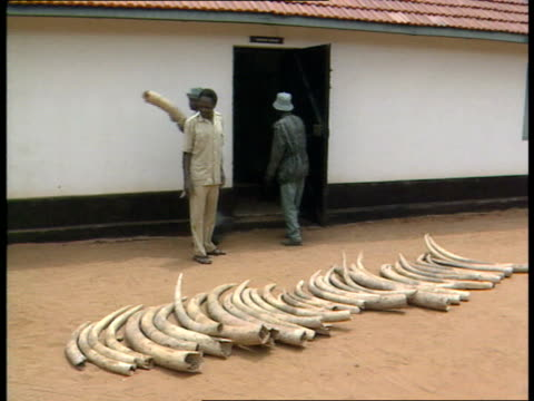 13 cr992 kenya ivory kenya 0240 game rangers laying ivory tusks on ground cu ivory tusks 'trophy room' sign overhead door of building pile of old... - 象牙点の映像素材/bロール