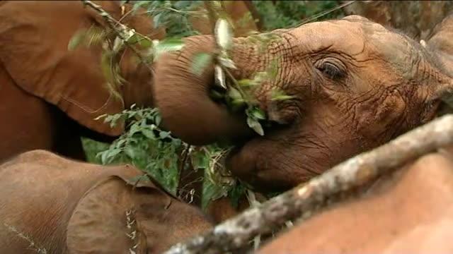 nairobi ext baby elephants at elephant orphanage baby elephant eating leaves on tree baby elephant leading other orphaned elephants along tiny tusk... - 象牙点の映像素材/bロール