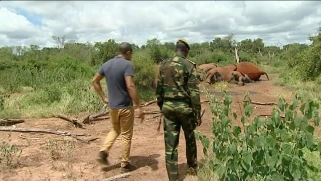 vidéos et rushes de ivory trade / orphaned elephants lib helicopter shots over national park and showing family of elephants corpses on ground various shots reporter... - orphelin