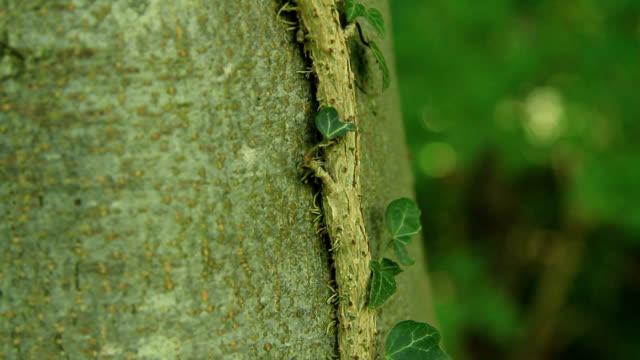 Ivy climbing a beech tree