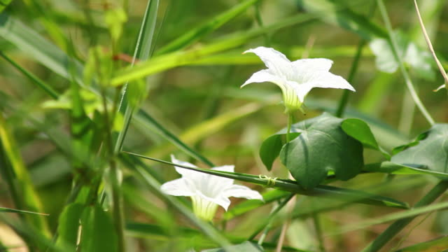 ivy gourd flower - gourd stock videos and b-roll footage