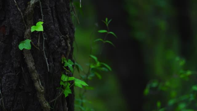 vídeos y material grabado en eventos de stock de ivy in a pine tree, dunas de liencres natural park, pielagos municipality, cantabria, spain, europe - pinar