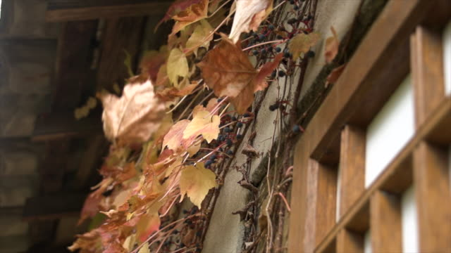 ivy leaves in autumn color dropping - wall building feature stock videos & royalty-free footage