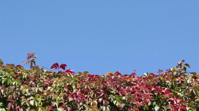 Ivy On Clear Sky