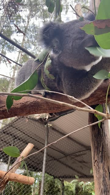 ivy the koala eats gum tree leaves while perched in a tree at the friends of the koala centre in east lismore. - appollaiarsi video stock e b–roll