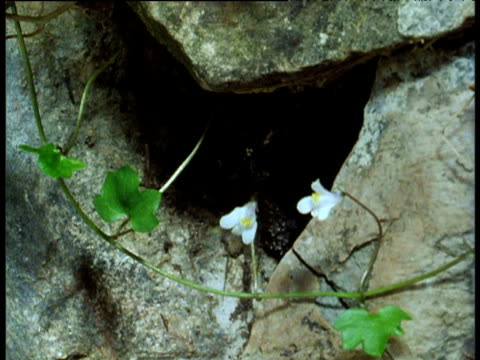 Ivy-leaved toadflax 'plants itself' into wall crevice.