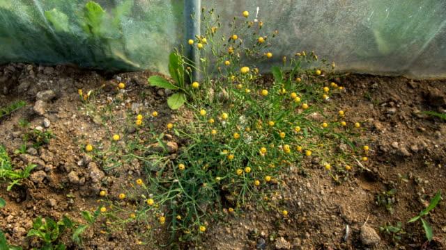 vídeos de stock e filmes b-roll de ixeridium dentatum (toothed ixeridium) flower blooming - estame