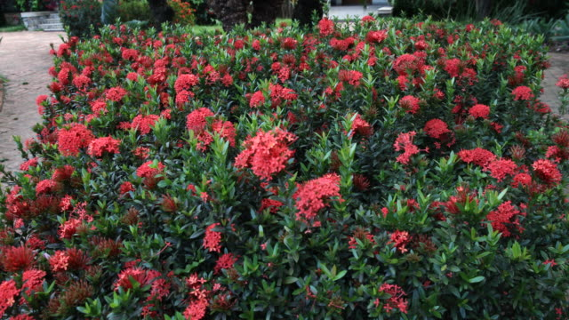ixora flowers found in the gardens of instituto terra on november 22, 2019 in aimorés, brazil. twenty years ago, this land was completely devastated,... - natural parkland stock videos & royalty-free footage